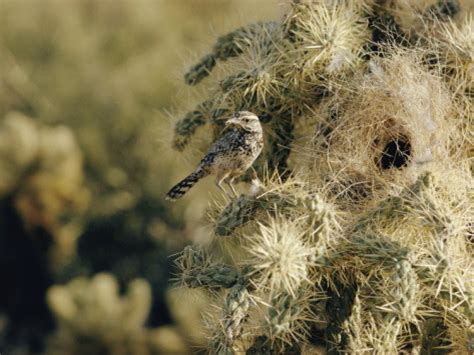 http www allposters com sp a cactus wren perches on a