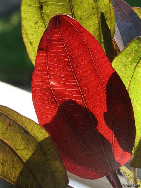 Wie viel lm/l Brauche ich für Rote Pflanzen : Beleuchtung ... Ludwigia Repens