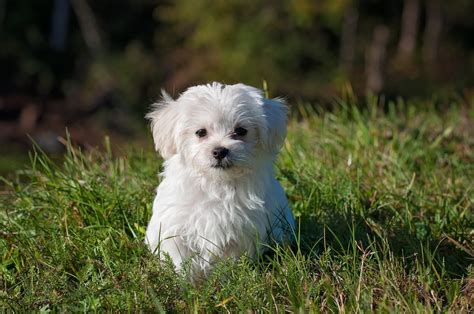 maltese puppies for sale in pa maltese puppies for sale in pa find your maltese dogs for sale in pa