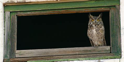 great horned owl house plans great horned owl bird house plans
