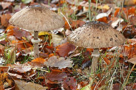 Pilze Im Garten Bekämpfen by Speisepilze Im Garten Pilze Selbst Z Chten Pilz Plantage