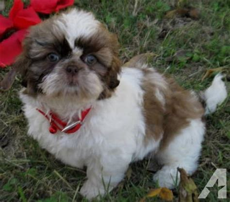 chocolate and white shih tzu akc liver chocolate white shih tzu puppy for sale in brashear