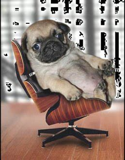 pug on chair gif pug president