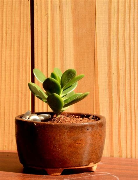 small jade  ceramic pot   bangalore delivery