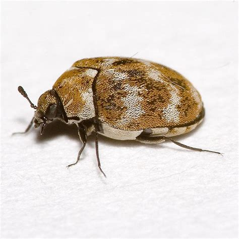 carpet beetle or bed bug carpet beetle removal treatment pacific nw pest