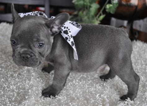frenchie puppy bulldog puppies