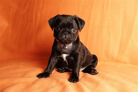 black pug puppy wallpaper black pug wallpaper wallpapersafari