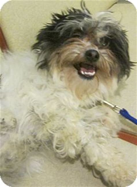 petfinder nj shih tzu oak ridge nj shih tzu havanese mix meet a for adoption