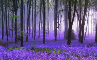 bluebell forest bluebell forest trees