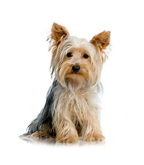 yorkie serenity yorkieserenity premium yorkies from small dog breeds