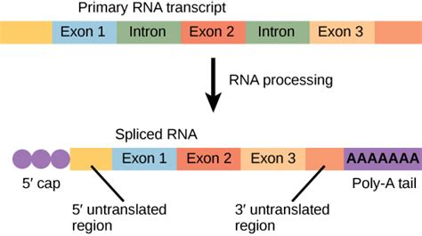 Many Rna Molecules From Eukaryotic Genes Sections Called by 9 3 Transcription Biology Libretexts
