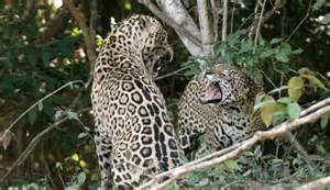 Jaguar Safari Pantanal Jaguar Safari Jaguar Brazil Safari