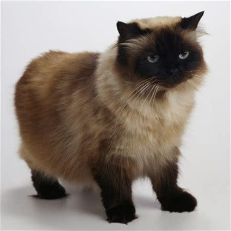 Harga Makanan Kelinci Himalayan kucing himalaya kucing