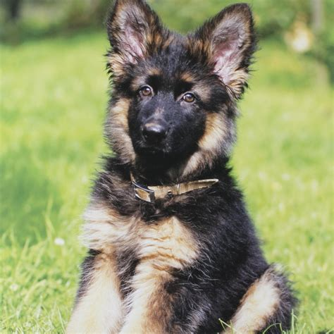 German Finder Where Can I Find German Shepherd Puppies For Sale Photo