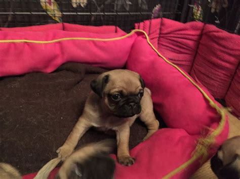 pugs for sale in hawaii beautiful bred pug puppies for sale