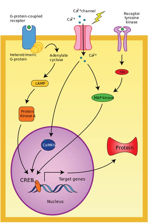 File:CREB cAMP neuron pathway.svg - Wikimedia Commons G Protein Coupled Receptors Diagram
