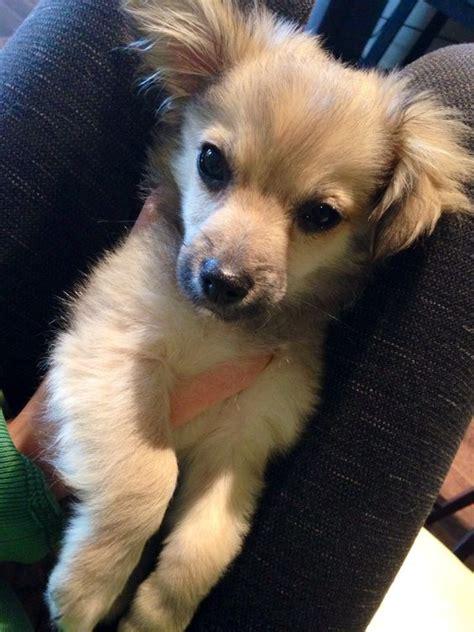 half pomeranian half poodle puppies mini pomapoo half pomeranian half poodle cutie pie heaven