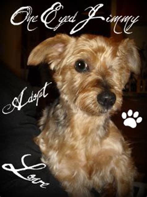 911 yorkie rescue one eyed jimmy s web page