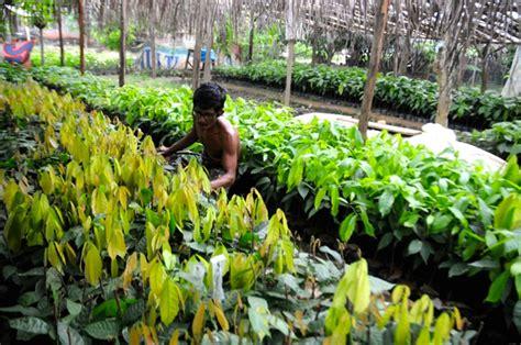 Bibit Kakao teror hama ini hancurkan masa keemasan petani kakao luwu