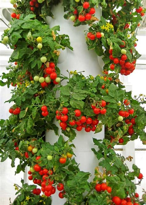 Vertical Tomato Gardening Cherry Tomato Tower Garden Garden Yard Trees
