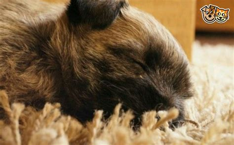 cairn terrier puppies for sale cairn terrier puppies for sale york