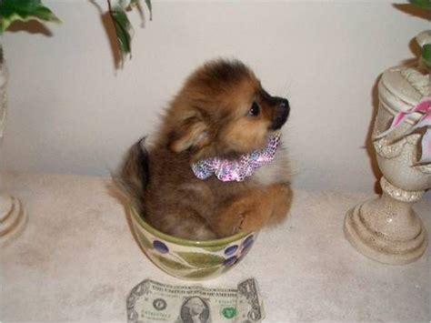 pocket puppies pocket puppy so dogs
