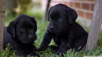 Lab Puppies Labrador Puppies Wallpaper 820707