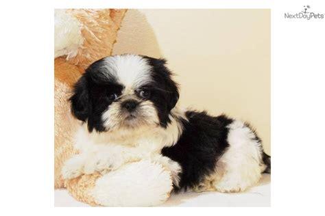 shih tzu puppies for sale columbus ohio shih tzu puppy for sale near columbus ohio 9de631fb 10d1