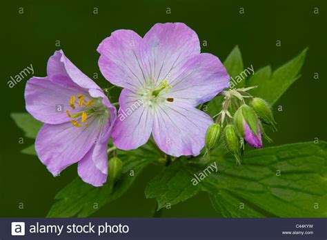 Geranium Sauvage Fleur by Wood Geranium Photos Wood Geranium Images Alamy