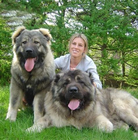 dogs used to hunt bears these dogs were once bred to hunt bears you won t believe their size