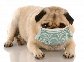 kennel cough in pugs pet health alert kennel cough tasmanian animal hospitals