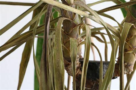 garten yucca braune flecken palme braune und gelbe bl 228 tter spitzen hausgarten net