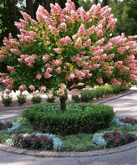 shade hydrangea best 25 hydrangea tree ideas on hydrangeas