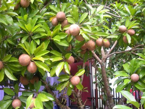 Bibit Tanaman Buah Sawo Variegata mencangkok tanaman buah ficus benyamina