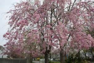a guide to northeastern gardening spring flowering trees
