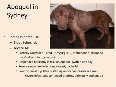 apoquel dosage for dogs a for apoquel