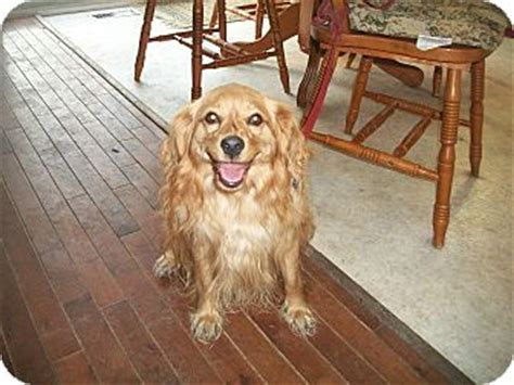 pomeranian cocker spaniel mix wiser adopted cornwall on cocker spaniel pomeranian mix