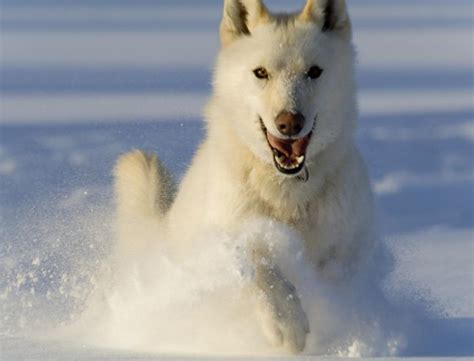 alaskan husky 1000 images about alaskan husky on alaskan husky husky and alaskan klee