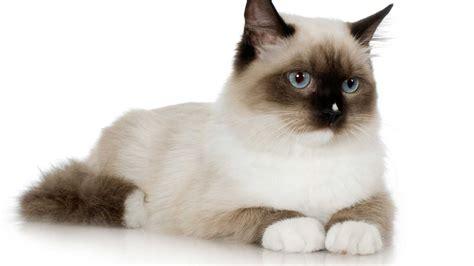 imagenes de gatitos inteligentes gato siam 233 s car 225 cter