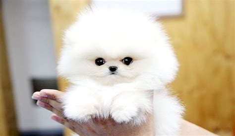 fluffy teacup puppies fluffy teacup pomeranian puppy