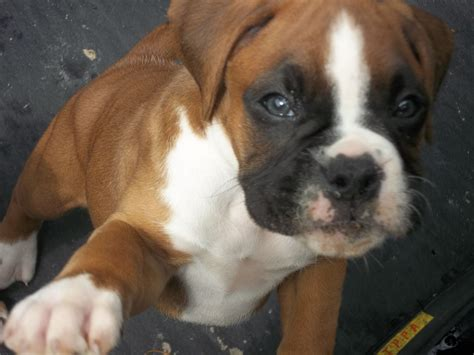 boxer puppies for sale boxer puppies for sale sutton in ashfield nottinghamshire pets4homes