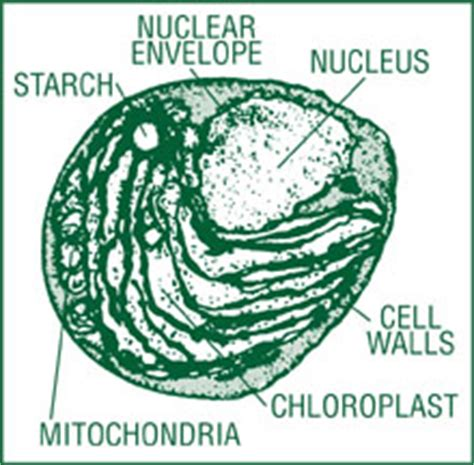 labelled diagram of chlorella what is chlorella chlorella health benefits explained