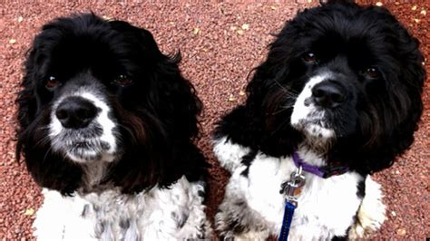oprah s dogs oprah s dogs springer spaniels and are not so hellish anymore