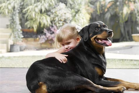 what were rottweilers bred for breed profile rottweiler