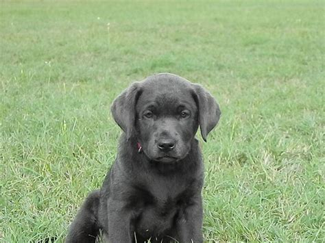 charcoal lab puppies for sale charcoal silver labs silver labs for sale breeder of silver labrador retrievers