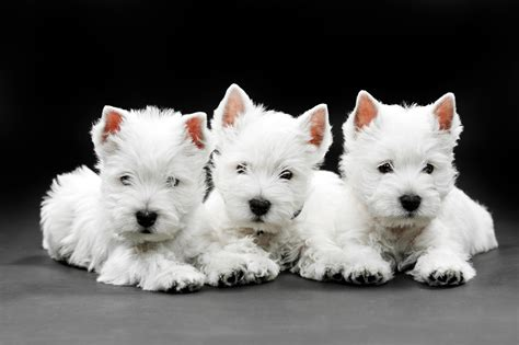 west highland white terrier puppies west highland white terrier wallpapers hd
