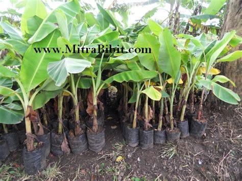 Pot Akasia No 30 cv mitra bibit cara budidaya tanaman buah pisang