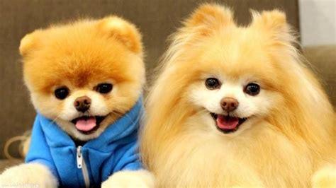 characteristics of pomeranian dogs pomeranian the cutest dinoanimals