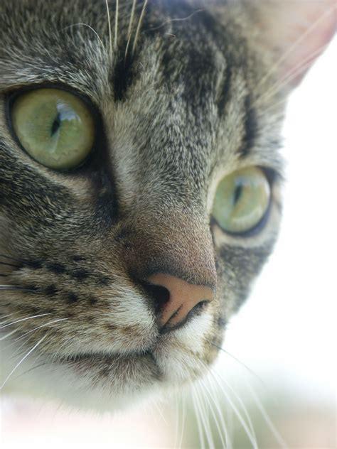 tabby cat wikipedia fichier male mackerel tabby cat jpg wikip 233 dia