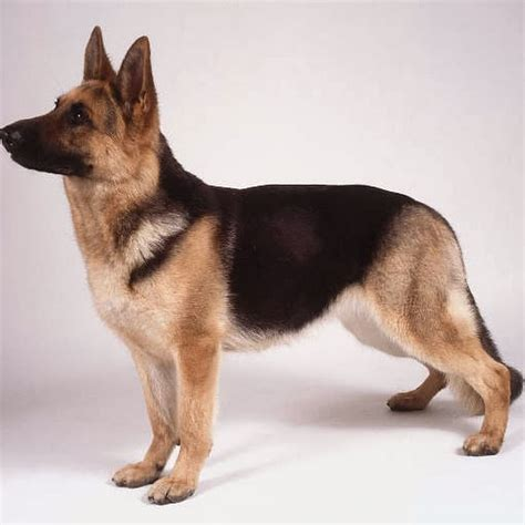 german dogs haired german shepherd facts and pictures